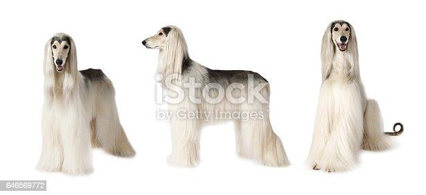 Photo collage of white Afghan hound dog, studio shot on white background