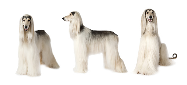 istock Afghan hound dog over white 646569772