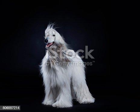 Afghan hound dog studio portrait
