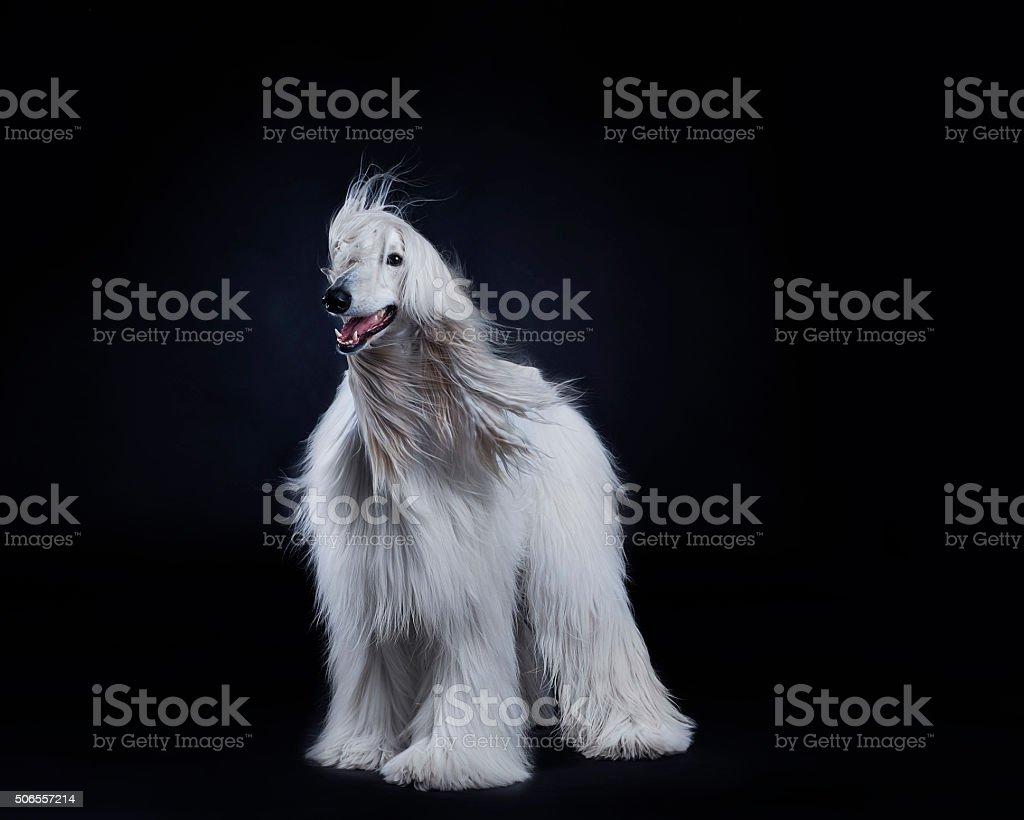 Afghan hound dog stock photo