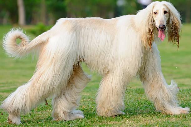 Afghan hound dog walking picture id114304972?b=1&k=6&m=114304972&s=612x612&w=0&h=qg43bizdzdoxtsyqtn247qvxxxzvnikoffq2zojrjkm=