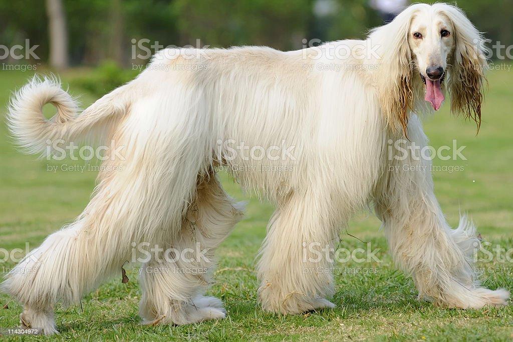 Afghan hound dog walking stock photo