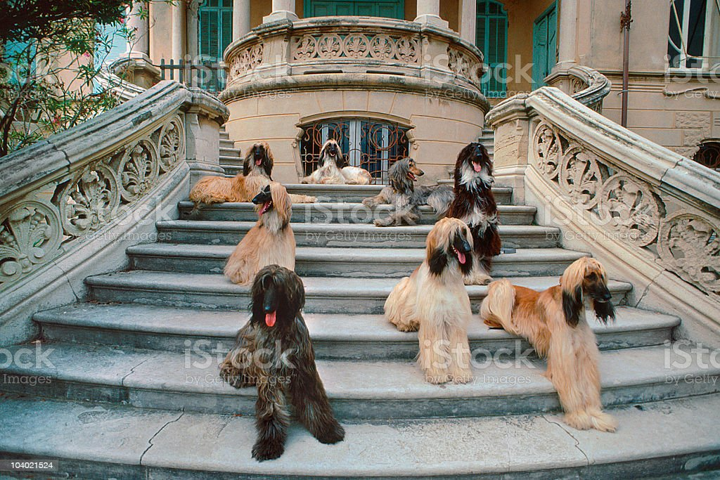 Afghan hound dogs on a stone staircase, portrait stock photo