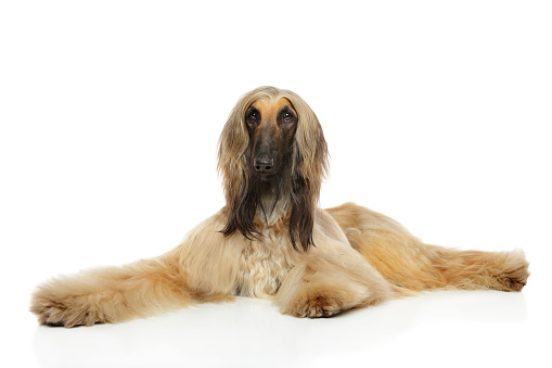 istock Afghan hound lying 937777014