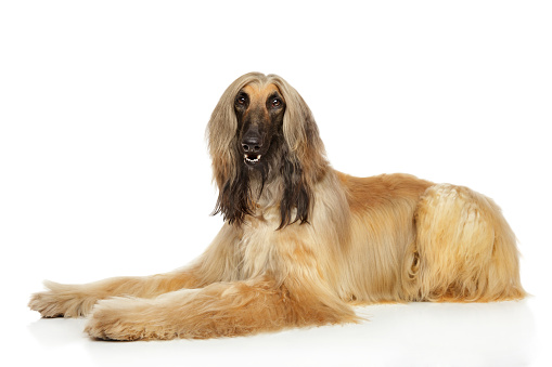 istock Afghan hound on white background 935757674