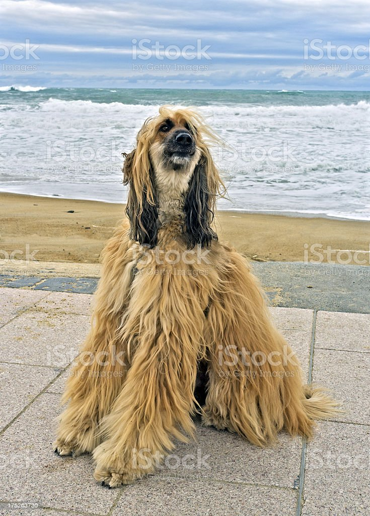 Afghan hound royalty-free stock photo