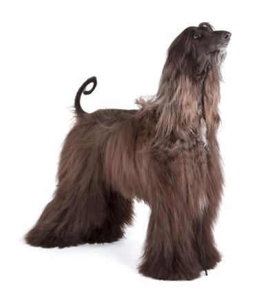 istock Afghan Hound 177712951