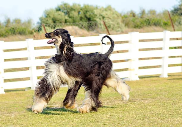 Afghan Hound A profile view of a healthy beautiful grizzle, black and tan, Afghan Hound walking on the grass looking happy and cheerful. Persian Greyhound dogs are slim and slender with a long narrow head, long silky coat and curly tail. sight hound stock pictures, royalty-free photos & images