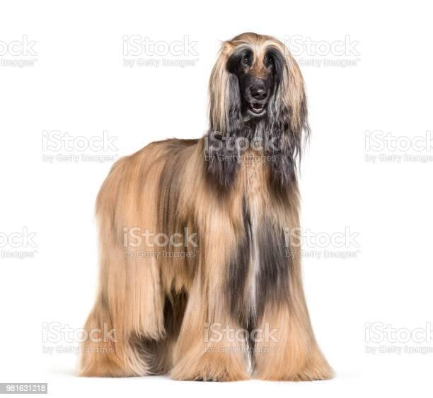 Afghan hound standing against white background picture id981631218?b=1&k=6&m=981631218&s=612x612&h=xtem a4sohpqnnjp07zyyjlif9ccw6v0fsxsaayorwi=