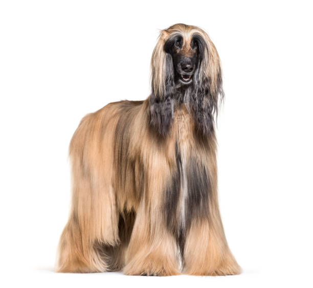 Afghan hound standing against white background picture id981631218?b=1&k=6&m=981631218&s=612x612&w=0&h=nb9xxzb6z9gufwsrciwutyvrowsqkyxykln4zt6pogy=