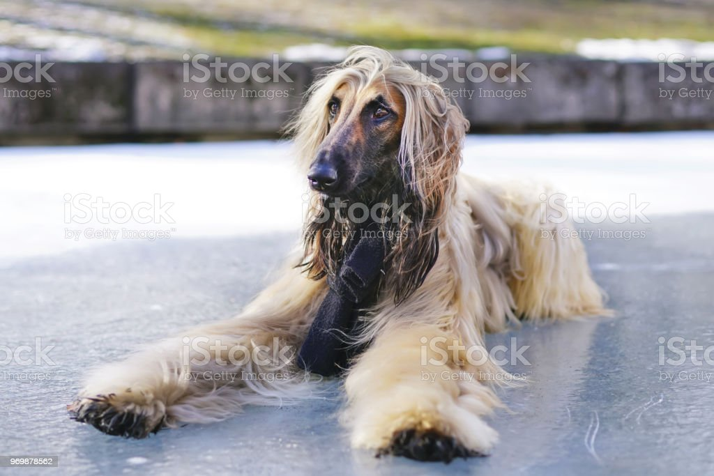 Afghan hound with a black scarf on its neck lying down on an ice in a...