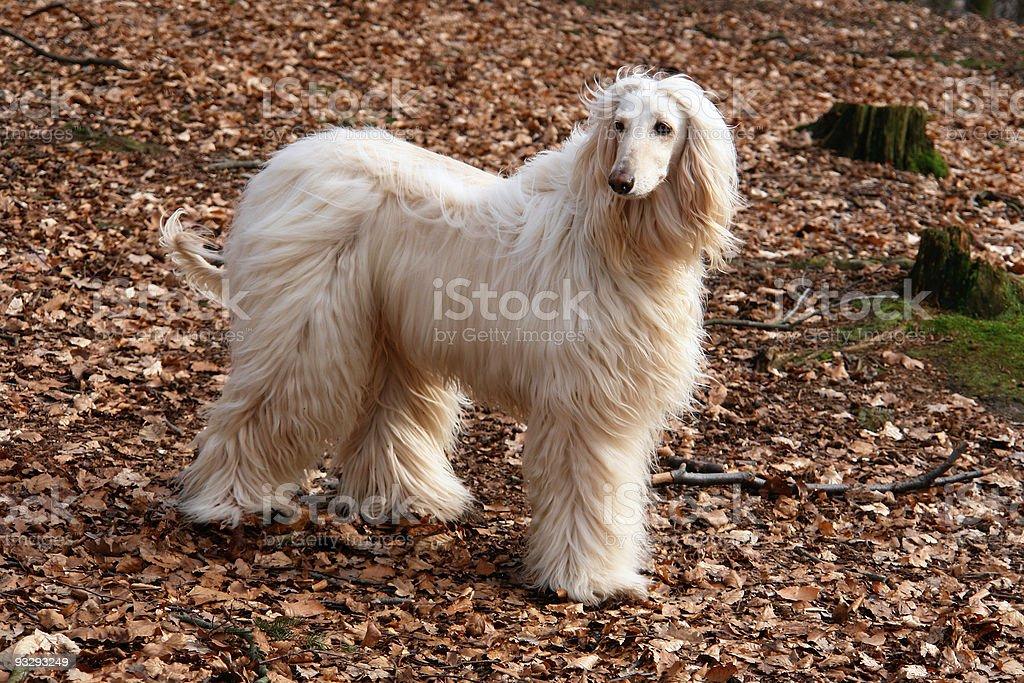 Afghan hound-3 stock photo