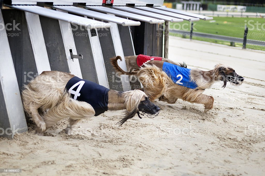 Afghan hounds on racetrack stock photo