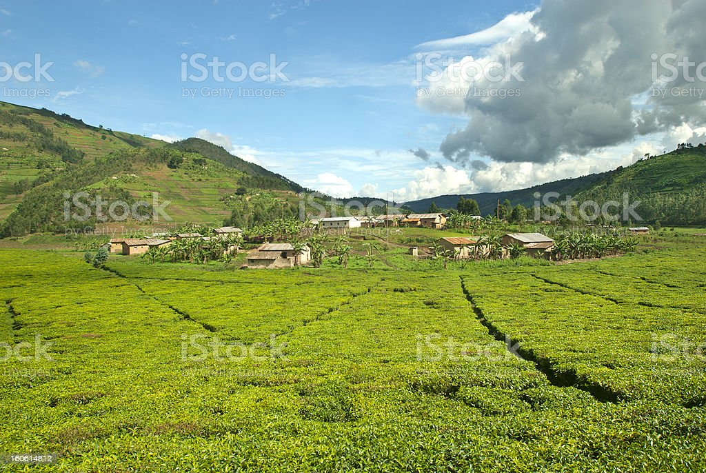 Afican fields -  tea plantation in the heart of Africa stock photo