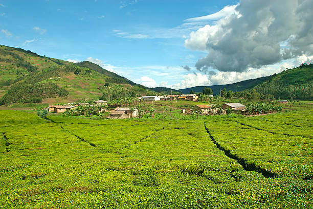 afican fields -  tea plantation in the heart of africa - democratic republic of the congo stock photos and pictures