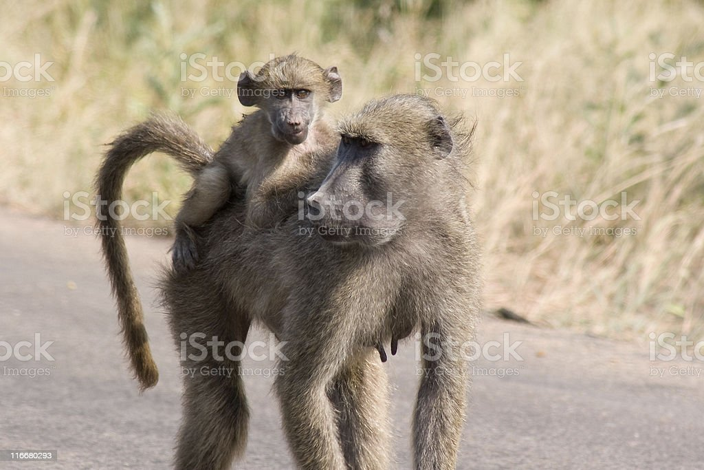 Africa. Baboon Mum and Baby royalty-free stock photo