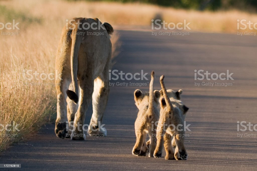 Africa. Baby Lions Following Lioness royalty-free stock photo