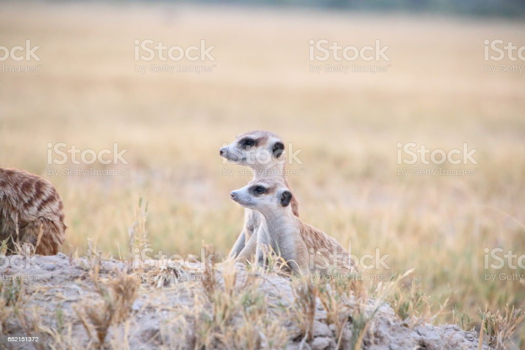 Africa Botswana standing meerkat stock photo