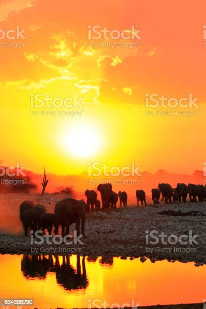 Africa elephants group family drinking safari big5 wildlife sunsets picture id834338290?b=1&k=6&m=834338290&s=612x612&h= iowbmsemeuvughx5lss lvbkezl1z xqgorjtgl xq=