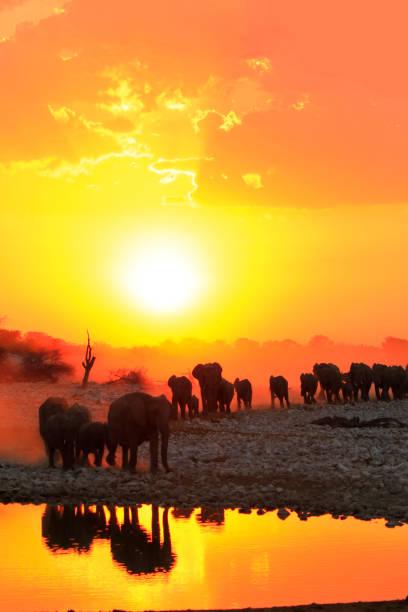 afrika elefanten gruppe familie trinken safari big5 tierwelt sonnenuntergänge - elefanten umriss stock-fotos und bilder