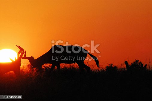 A safari sunrise finds these wild Hartebeest Antelopes testing their skills at fighting for mating privileges in South Africa.