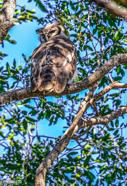 Africa owl picture id1161081170?b=1&k=6&m=1161081170&s=612x612&h= x6ctqcipu2gfuts8kikp09lgnqmjirei5wmfvkwp3y=