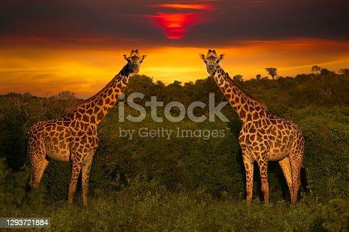 istock Africa Sunrise and Sunset with Giraffein Kenya 1293721884