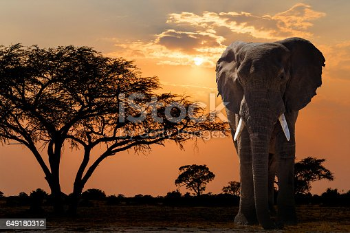 1137909085 istock photo Africa sunset over acacia tree and elephant 649180312