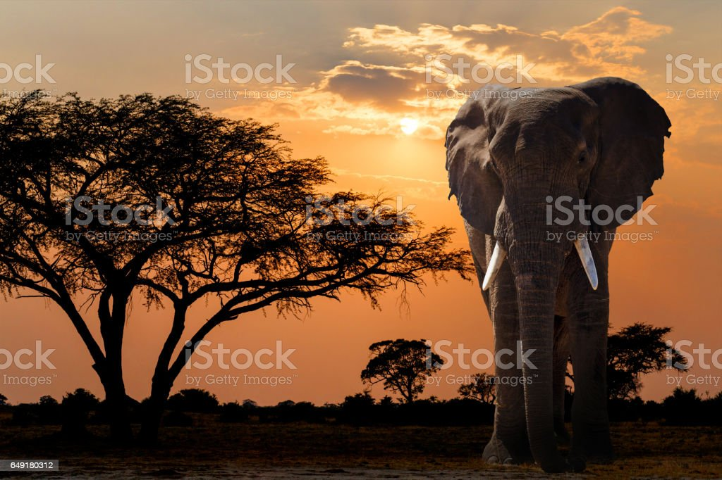 Africa sunset over acacia tree and elephant stock photo