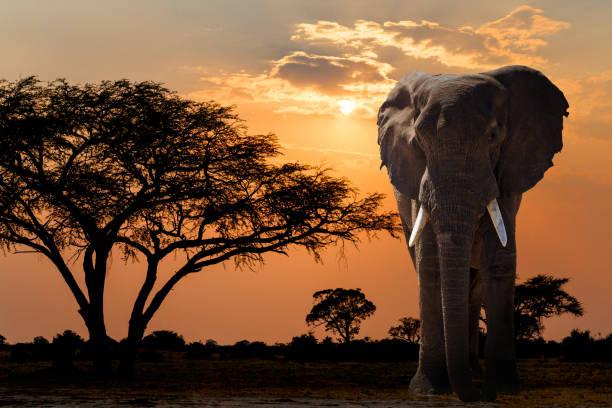 Africa sunset over acacia tree and elephant stock photo