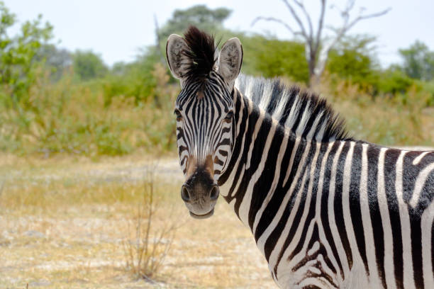 africa zebra looking into camera - zebra stock photos and pictures