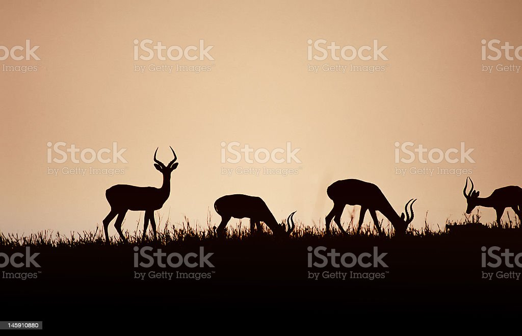 Africa-Impala bachelor herd at dawn stock photo