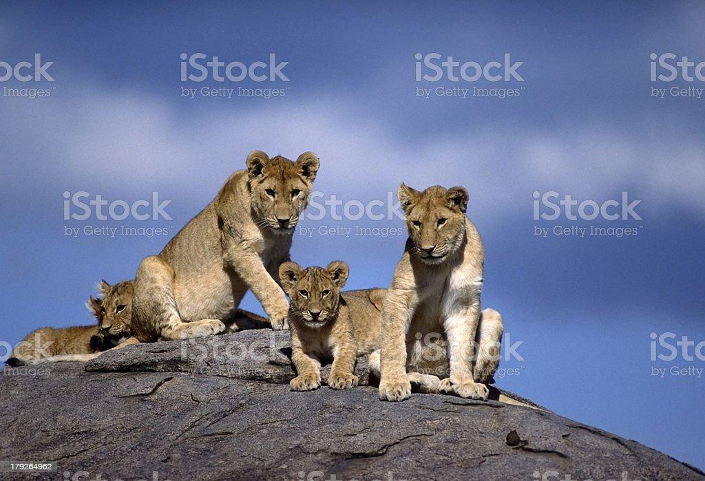 Africa-lions on kopje royalty-free stock photo