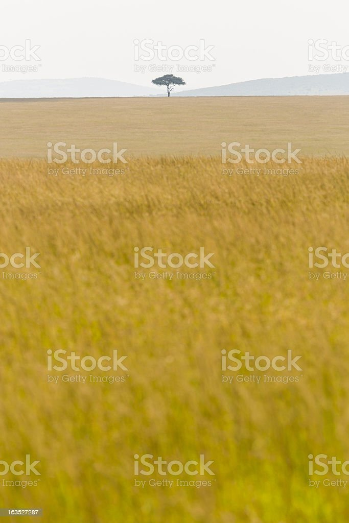 African Acacia Tree at Savannah - horizon over land stock photo