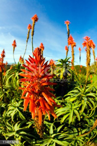 istock African aloes 114313410