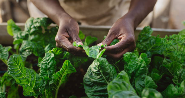 African American woman examining spinich leaves in her organic garden stock photo