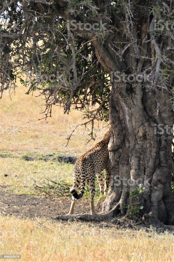 African animal bottom - cheetah stock photo