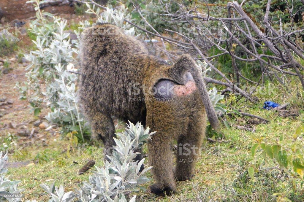 African animal bottoms - baboon stock photo