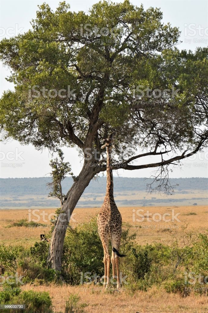 African animal bottoms - giraffe stock photo