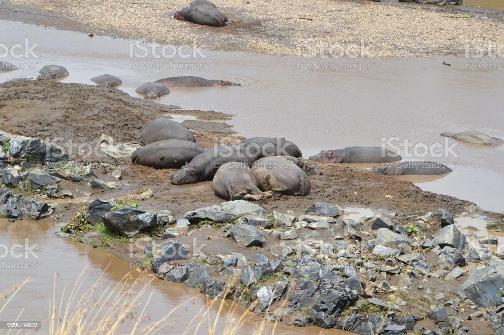 African animal bottoms - hippos stock photo