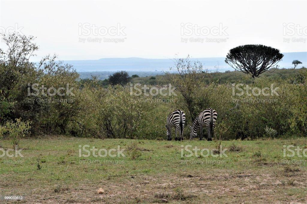 African animal bottoms - zebras stock photo
