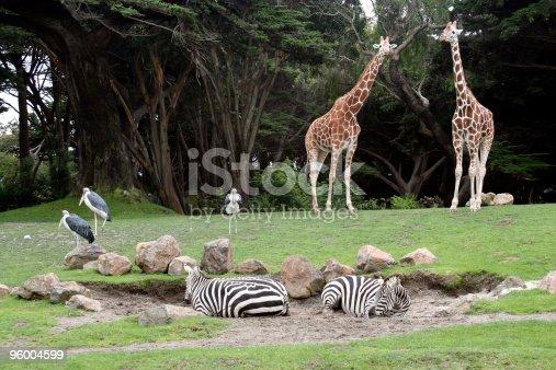 Saharan Animals at the San Francisco Zoo, giraffes, zebras and shore birds