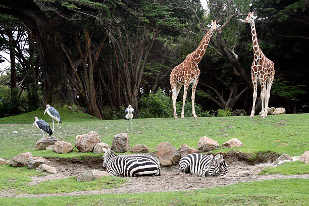 African Animal Exhibit at the San Francisco Zoo Safari Saharan Animals at the San Francisco Zoo, giraffes, zebras and shore birds zoo stock pictures, royalty-free photos & images
