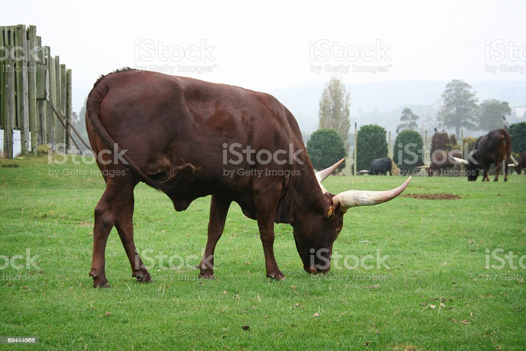 African Ankole Cattle royalty-free stock photo