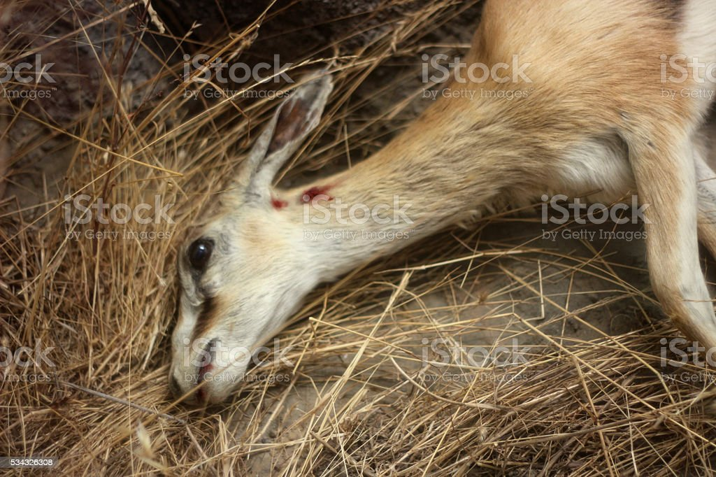 African Antelope Deer Dead stock photo