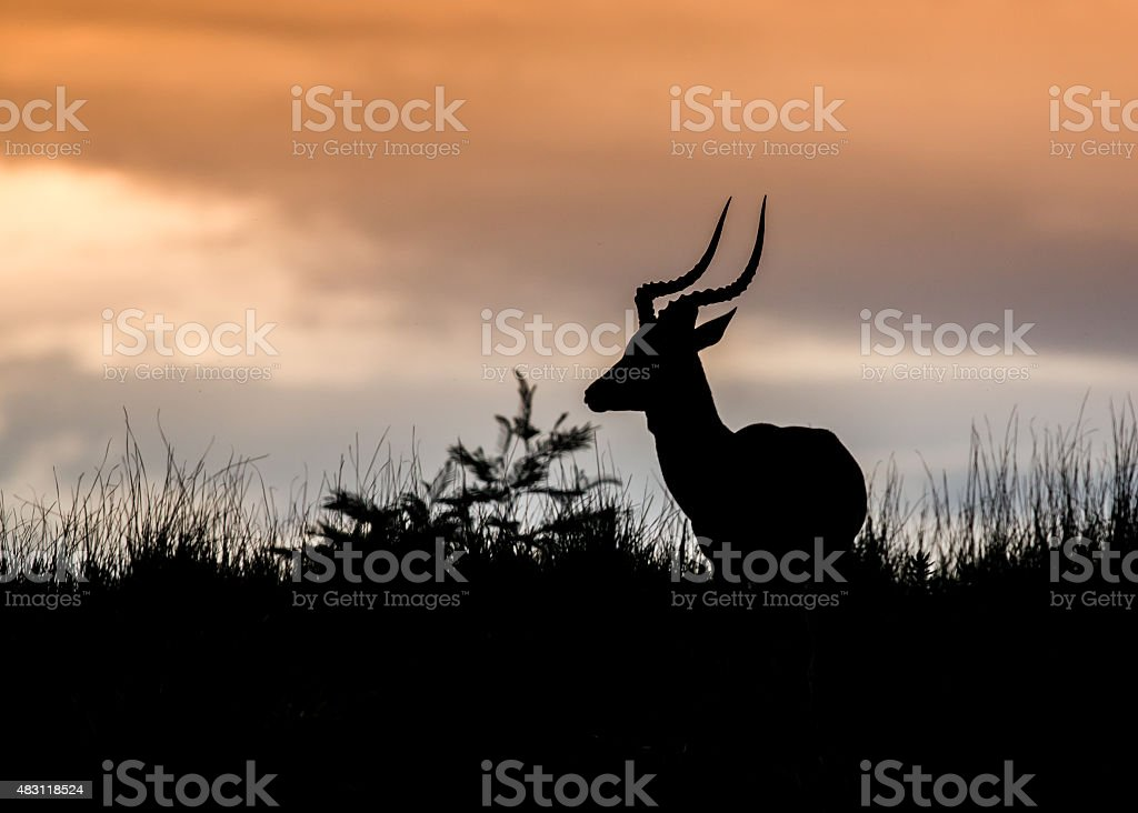 African Antelope Silhouette stock photo