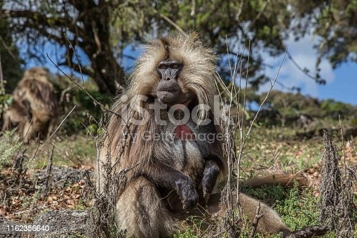 Baboons in natural environment
