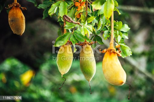 African baobab fruit on tree - Benin, West Africa