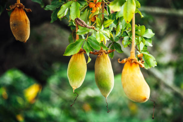 African baobab fruit on tree - Benin, West Africa stock photo