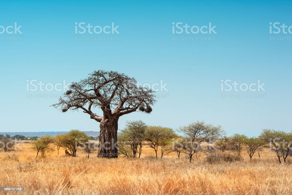 African Baobab tree in Plains of Taranigre National Park – zdjęcie